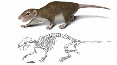 Rugosodon eurasiaticus.