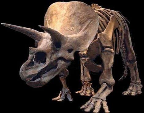 Un fossile de Triceratops.