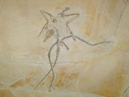 Fossile d'Archaeopteryx.