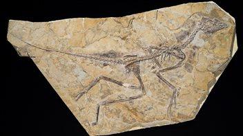 Fossile d'Aurornis xuivi.
