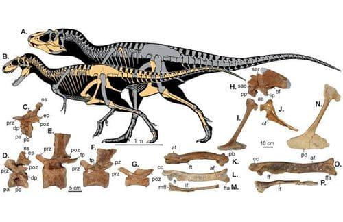 Fossile Lythronax.