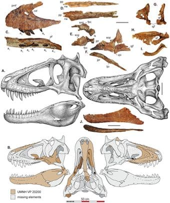 Dinosaure Lythronax.
