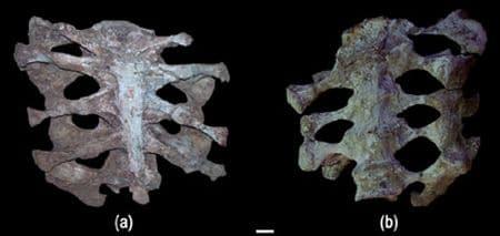 Fossile du dinosaure Huanghetitan.