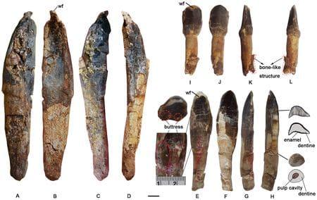 Fossiles du dinosaure Yongjinglong.