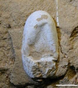 Oeuf fossile de Ptérosaure. Il nous éclaire sur la reproduction des Ptérosaures, proche de celle des reptiles.