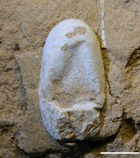 Oeuf fossile de Ptérosaure, un reptile volant.