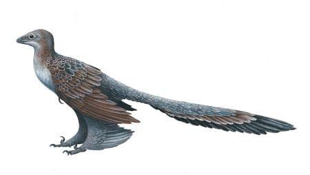 Le dinosaure Changyuraptor Yangi.