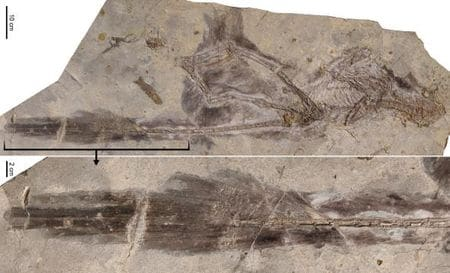 Fossile du dinosaure Changyuraptor.
