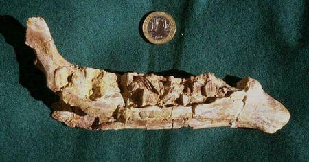 Fossile du dinosaure Rhabdodon provenant de Cruzy, Hérault.