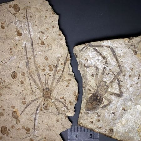 araignée géante fossile.