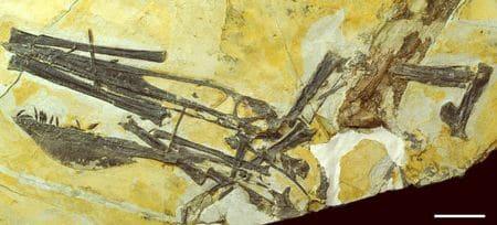 Fossile de Ptérosaure Ikrandraco avatar.