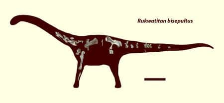 Fossiles de Rukwatitan.