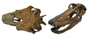 Fossile du dinosaure Kaatedocus.