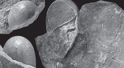 Les oeufs fossilisés Sankofa Pyrenaica sont de forme inhabituelle, ils sont âgés du Crétacé.