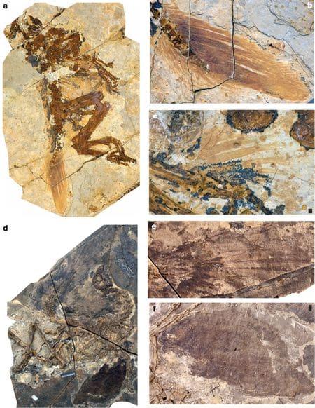 Plumes de deux Similicaudipteryx fossiles.