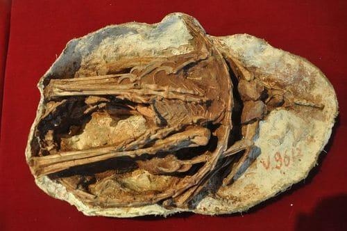 Fossile d'un dinosaure Sinornithoides.