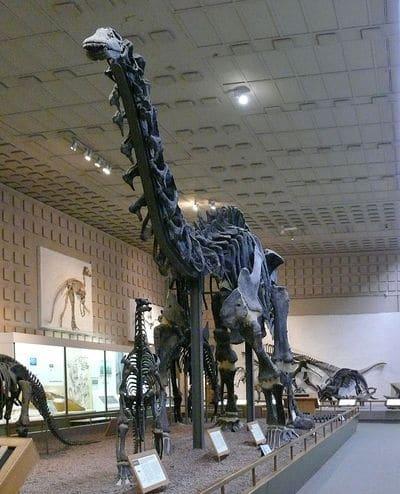 Apatosaurus excelsus ou Brontosaurus excelsus ? Holotype découvert à Como Bluff, Wyoming, USA, daté du Jurassique.