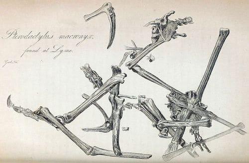 Dimorphodon macronyx, initialement nommé Pterodactylus macronyx.