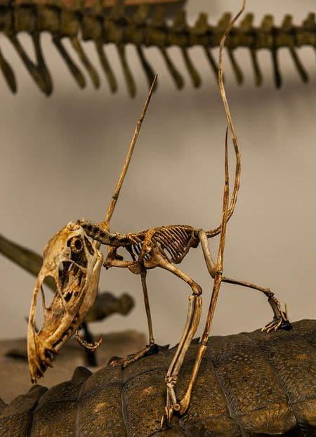 Dimorphodon : un squelette fossile.