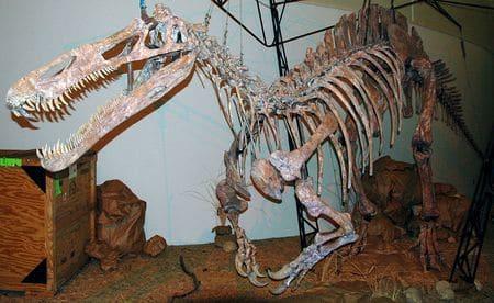 Squelette fossile du dinosaure Suchomimus.