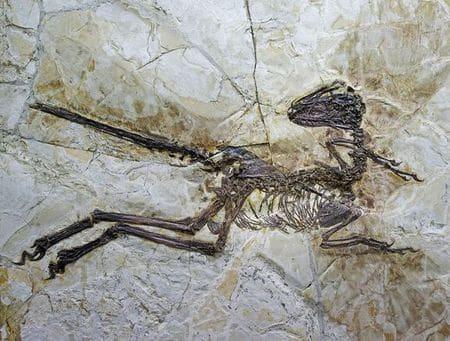 Dinosaure Zhenyuanlong.