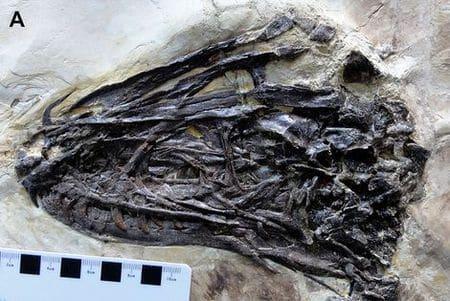 Tête fossile du dinosaure Zhenyuanlong.