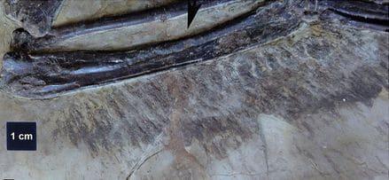 Plumes fossiles de dinosaure.