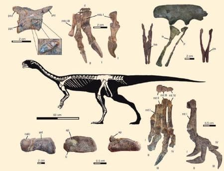 Fossiles du dinosaure Chilesaurus.