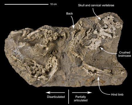 Bébés dinosaures fossiles encore dans leur nid.