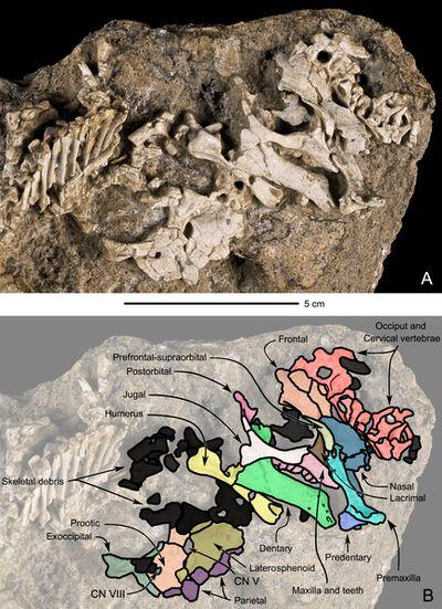 Bébé dinosaure fossile trouvé dans le désert de Gobi en Mongolie.