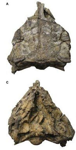 Fossile du dinosaure Kunbarrasaurus.