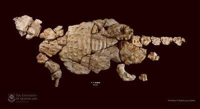 Kunbarrasaurus ieversi fossilisé.