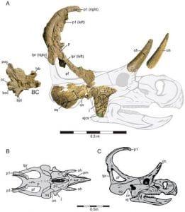 Fossiles retrouvés du crâne du dinosaure Machairoceratops.