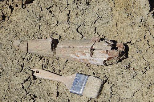 Fossile du dinosaure Machairoceratops in situ sur le site paléontologique de sa découverte.