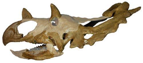 Crâne fossile du dinosaure Spiclypeus.