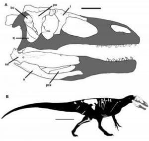 Fossiles retrouvés en Patagonie (Argentine) du dinosaure Murusraptor barrosaensis.