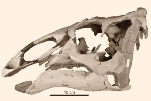 Crâne fossile du dinosaure Ugrunaaluk.