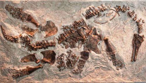 Plésiosaure femelle fossile avec son embryon juste à droite de l'os du bassin.