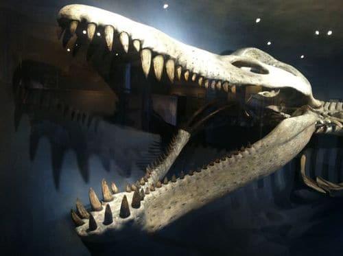Crâne fossile du Pliosaure Kronosaurus.