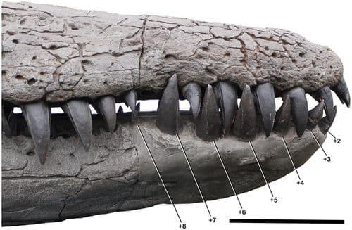 Avant de la mâchoire fossile avec ses dents du Pliosaurus kevani.