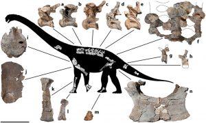 Fossiles du dinosaure Savannasaurus.